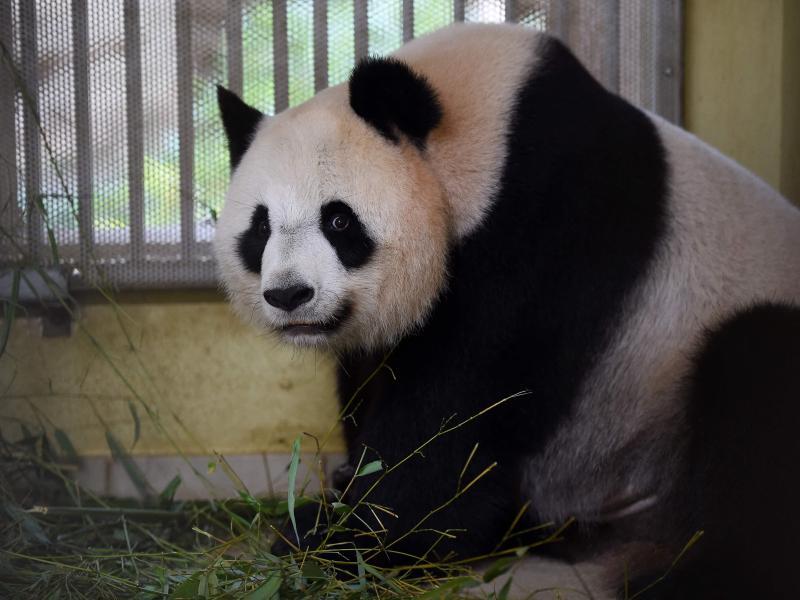 Panda-Weibchen Huan Huan ist trächtig und steht kurz vor der Geburt von Zwillingen. Foto: Guillaume Souvant/AFP/dpa (© Guillaume Souvant)