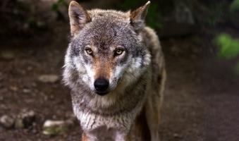 Foto: Oberallgäuer Wolf-Gipfel bringt keine neuen Infos - Landwirte fordern den Abschuss des Tieres